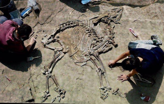 Troben un nou esquelet de bvid de fa 3,1 milions d'anys a Caldes de Malavella