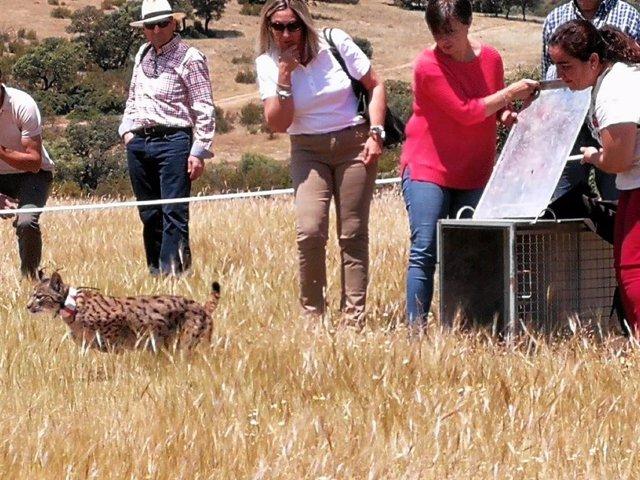 Jaén.- Los linces Petunia y Pinus se incorporan a la creciente población en el entorno del río Guarrizas, en Vilches