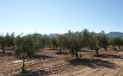 El precio de producción de aceite de oliva cae un 43% respecto a la media de los últimos cuatro años