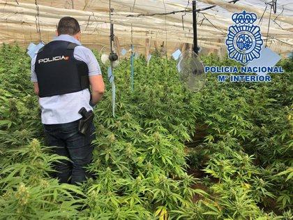 Un detenido tras desmantelar dos invernaderos en El Ejido (Almería) con 650 plantas de marihuana