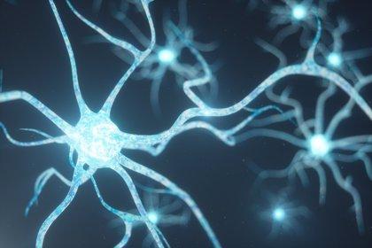 Las células que rodean a las neuronas pueden regular su actividad mitocondrial