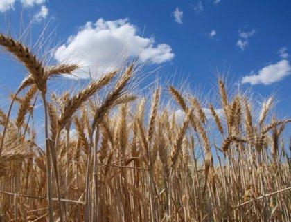 La cosecha de cereales en Extremadura se prevé en 923.981 hectáreas, un 33,7% de descenso sobre la campaña 2018