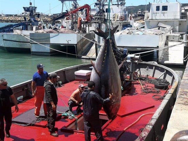 Cádiz.- La almadraba de Conil realiza la primera 'levantá' de atunes del año