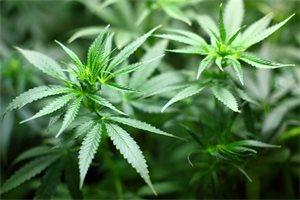 Colombia podría convertirse en líder de la industria medicinal del cannabis, ¿por qué?