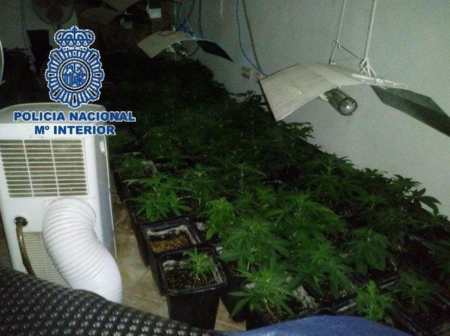 Málaga.- Sucesos.- Detenidos un padre y su hijo e intervenidas 510 plantas de marihuana en una finca de Málaga