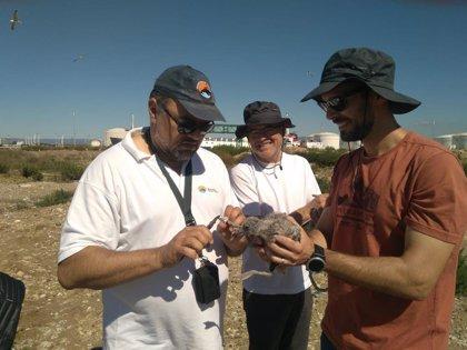 Empieza el anillado de la gaviota de Audouin en el litoral catalán