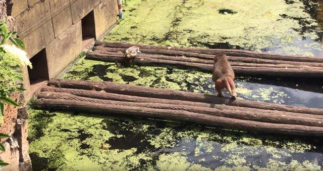 Un mono consigue devorar a un pato en un zoo sin que la mamá pato consiga evitar