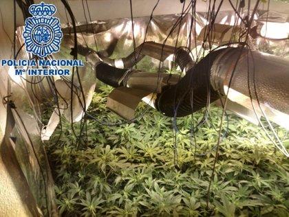 Detenido el responsable de un cultivo de 377 plantas de marihuana en una vivienda de Almogía (Málaga)