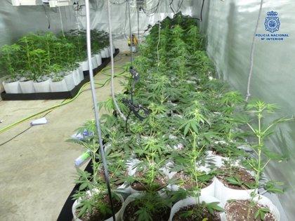 Un detenido y 128 plantas de marihuana incautadas al desmantelar una plantación en una vivienda de Andújar (Jaén)