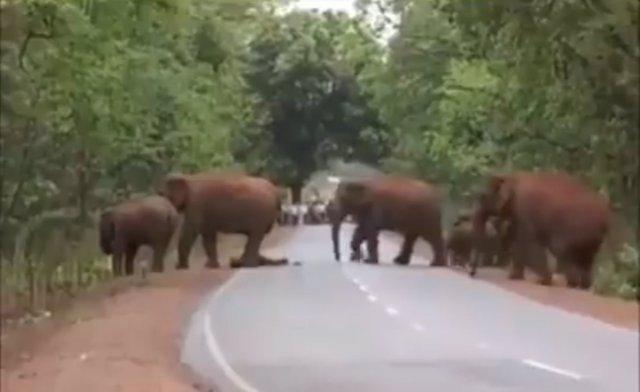 Un grupo de elefantes atraviesa una carretera de la India cargando con una de su