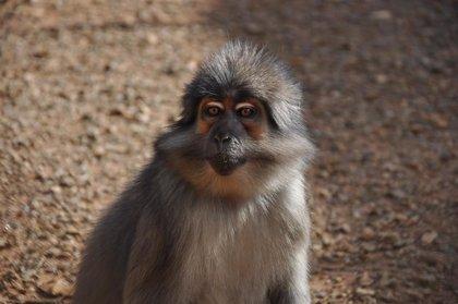 Desarrollan un modelo de primate para el autismo mediante la edición del genoma