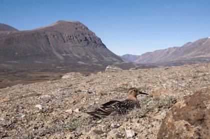 La depredación de los nidos de aves costeras ha cambiado poco en los últimos 60 años pese al cambio climático