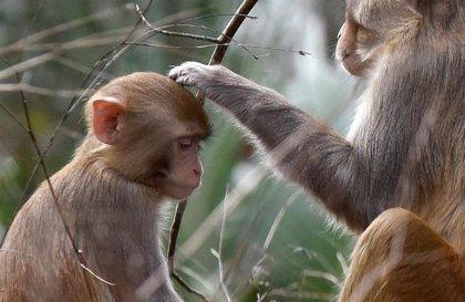 Los primates, en riesgo de extinción por culpa del comercio y consumo mundial de productos básicos