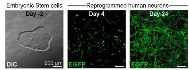 Diseñan un sistema que evalúa los posibles efectos de un fármaco en el desarrollo neuronal del feto