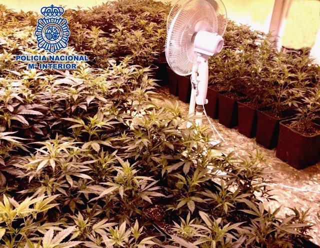 Córdoba.- Sucesos.- Detenidas cuatro personas tras intervenirles 585 plantas de marihuana y un arma de fuego