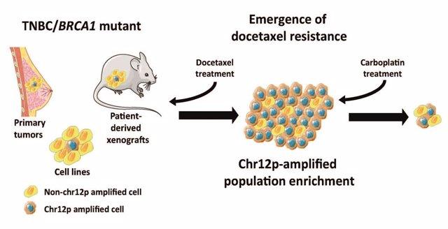 Relacionen l'amplificació d'una regió cromosòmica amb la resistència a un fàrmac en càncer de mama