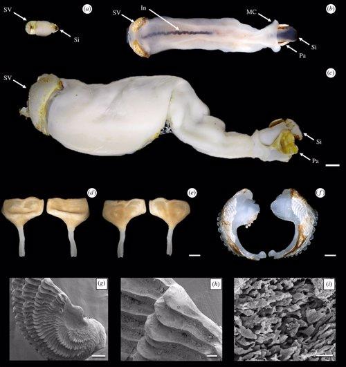 Una nueva especie de gusano como piedra... Y excreta arena