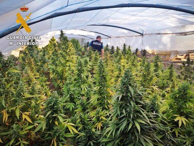 Sucesos.- Detenidos los dos responsables de un invernadero con 238 plantas de marihuana desmantelado en Badajoz