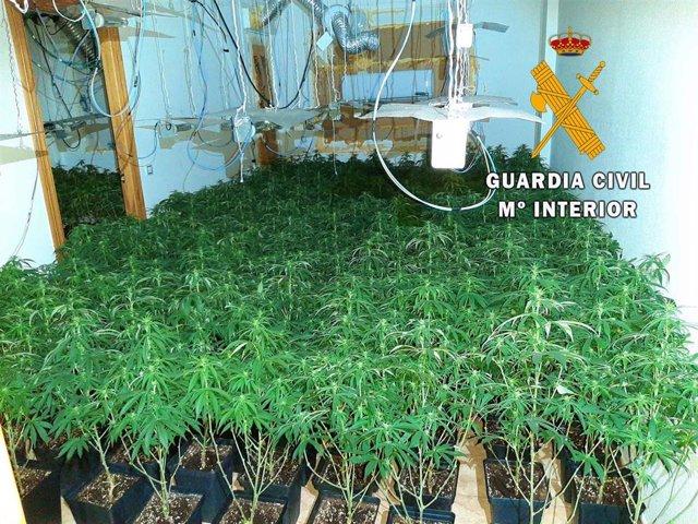 Almería.-Sucesos.- Intervenidas 800 plantas de marihuana en Roquetas de Mar y neutralizan seis enganches ilegales