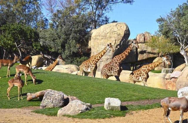 Tres jirafas de Bioparc de Valencia se mudan al parque de Cabárceno para crear una reserva genética