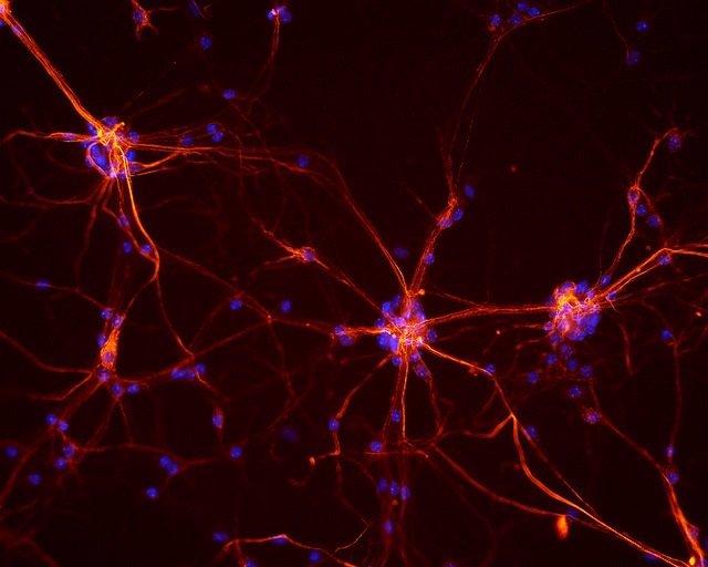 La serotonina puede regular la expresión de genes dentro de las neuronas