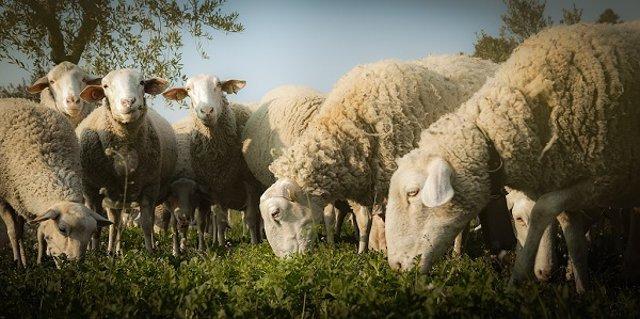 La oveja y la cabra centraban la mayor parte de la economía ganadera.