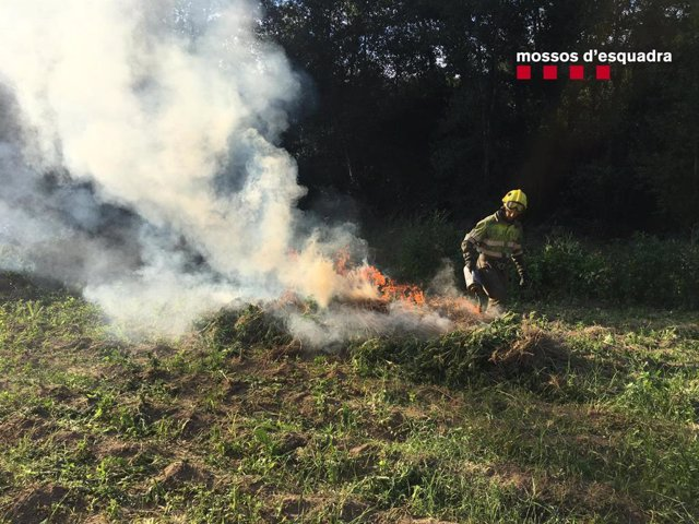 Un bomber de la Generalitat crema una plantació de marihuana en l'Alt Empordà (Girona) en el marc d'una operació de Mossos d'Esquadra.