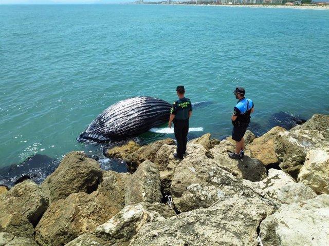 Cría de ballena hallada muerta en Gandia