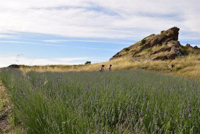 Uno de los campos de plantas aromáticas de Savia Íbera, negocio que han puesto en marcha dos jóvenes emprendedores en la zona del Somontano de Barbastro.