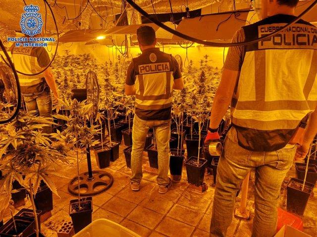 La Policía Nacional desmantela en Pepino una plantación de 1.720 plantas de marihuana