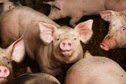 Los cerdos, claves para investigar el cerebro con Parkinson o Alzheimer