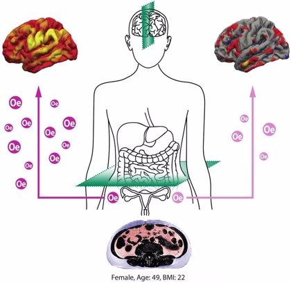 Un estudio evidencia que la hormona sexual estradiol protege al cerebro de las mujeres adultas