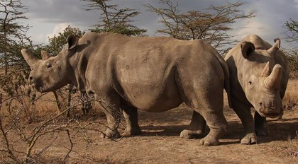 Merck colabora con el Instituto Leibniz para salvar al rinoceronte blanco de la extinción