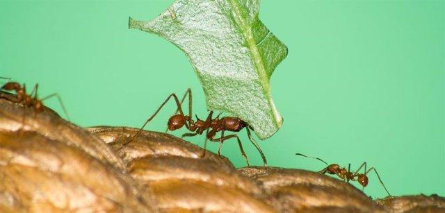Hormigas agricultoras