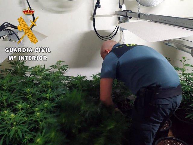 Plantación de marihuana hallada en un cortijo de Senes (Almería)