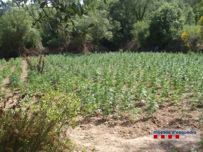 Dos detenidos por tres plantaciones de marihuana en Sant Sadurní de l'Heura (Girona)
