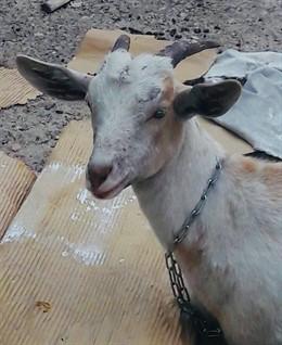 Cabra localizada en la avenida Pío XII de València