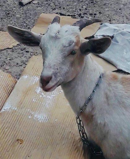 Buscan al propietario de una cabra hallada en plena avenida Pío XII de València