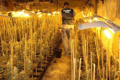 Desmantelado un cultivo de 1.300 plantas de marihuana en Mucientes