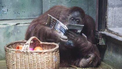 "¿Cómo es Sandra, la primera orangutana argentina declarada judicialmente ""persona""?"