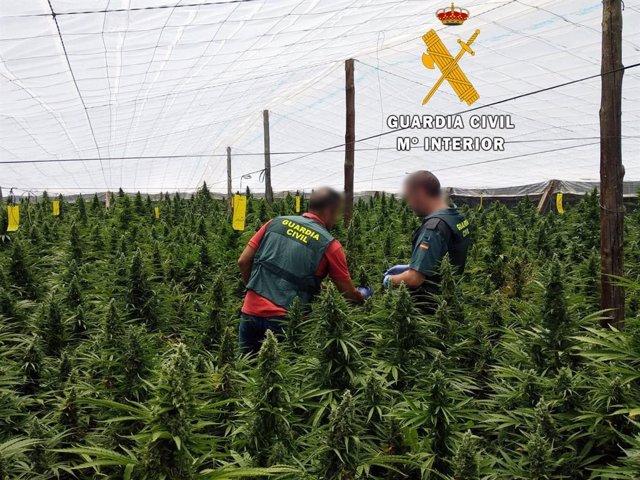 Detienen a dos vecinos de El Ejido (Almería) tras intervenir 1.400 plantas de marihuana y un rifle mucinionado