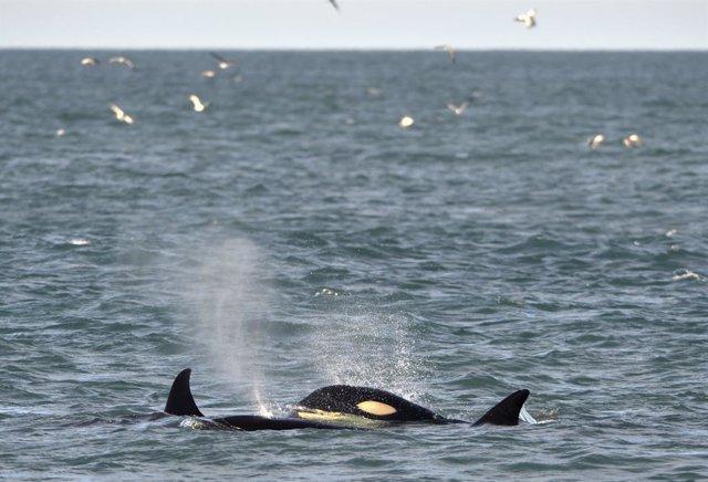 Japón.- Japón retoma la caza comercial de ballenas después de 30 años