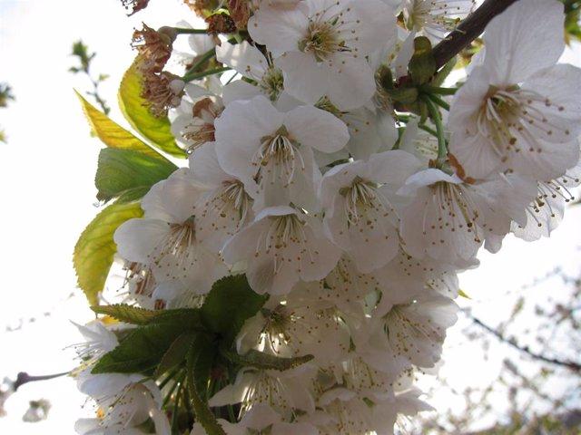 Polinización de cerezo en flor.