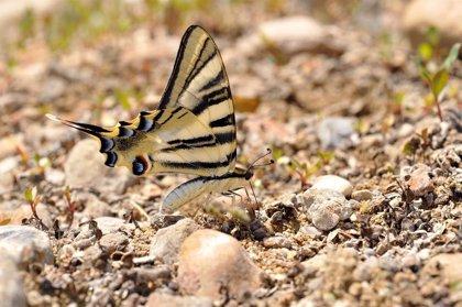 Descubren que la mariposa podalirio de la península ibérica es una especie distinta a la europea