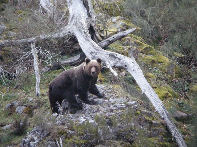 Oso protegido en un parque natural de Asturias.