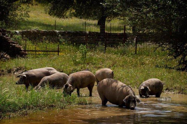 Cerdos en la dehesa de Extrem Puro Extremadura