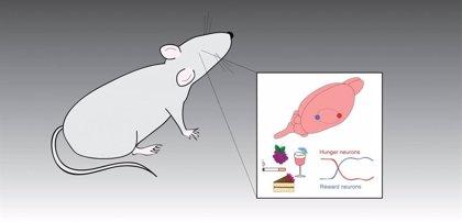 Revelan cómo están conectadas las neuronas responsables del hambre y la recompensa