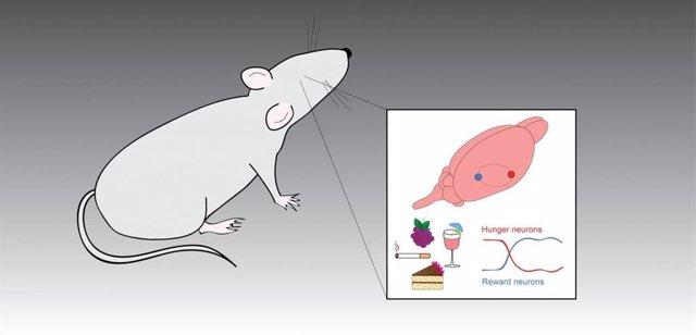 Efecto de los alimentos, las drogas y el alcohol en el sistema de recompensas del cerebro de ratones