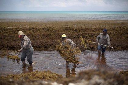 Descubren la mayor floración de algas del mundo