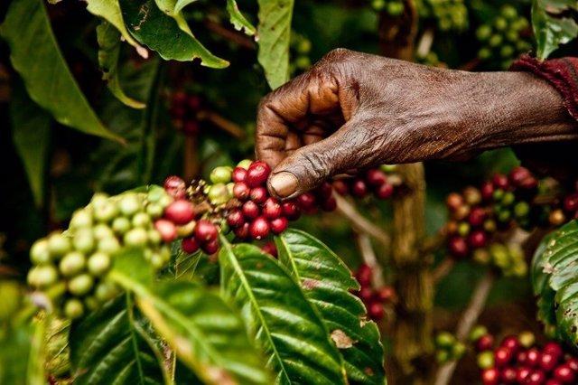 Los cultivos de café se reducirán a la mitad en 2050 si no se evita el impacto del cambio climático, según un estudio